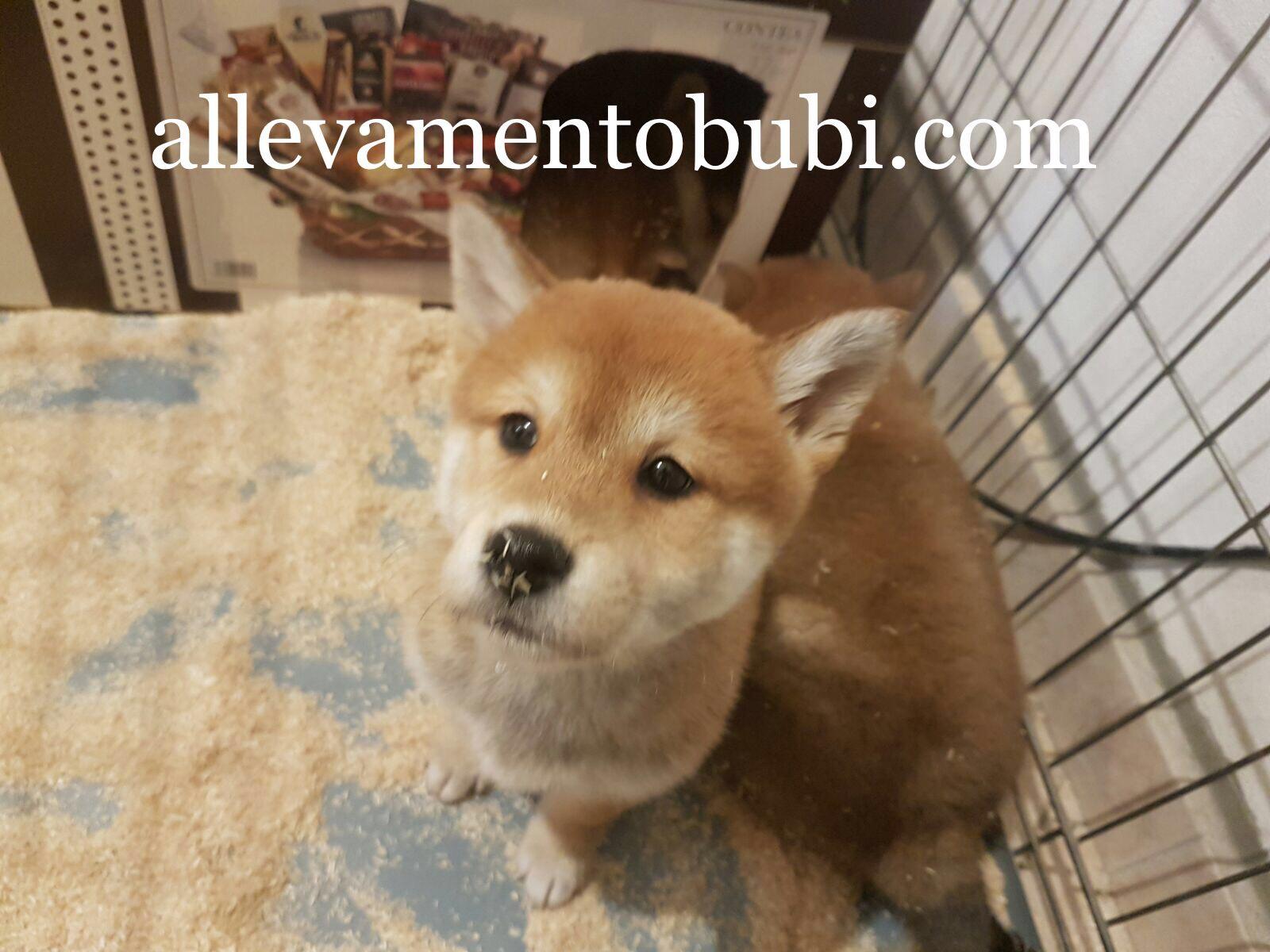 Cucciolo di Shiba Inu Bianco Arancio