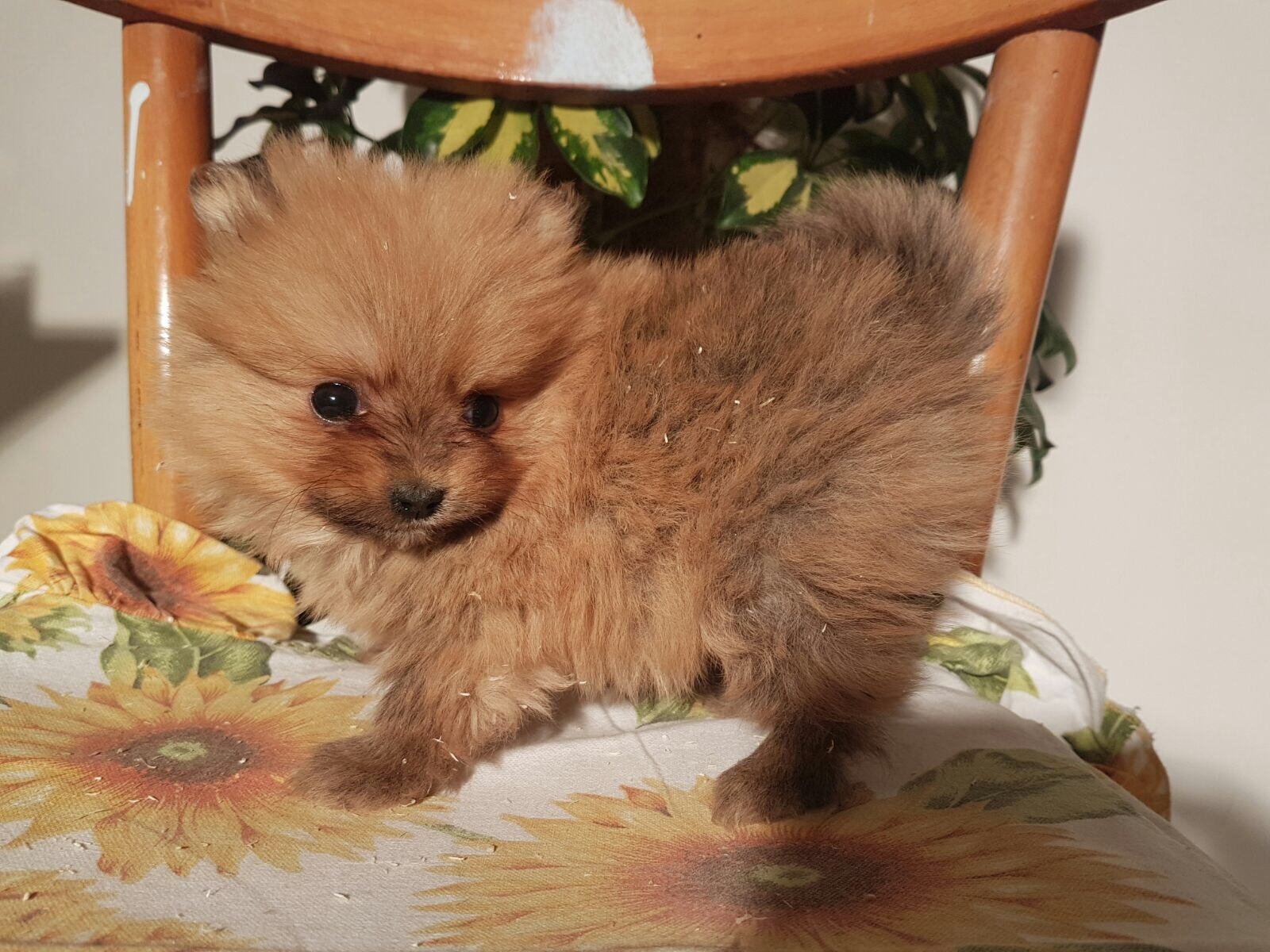 cucciolo di volpino di pomerania