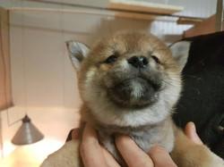 Cucciolo di Shiba Inu