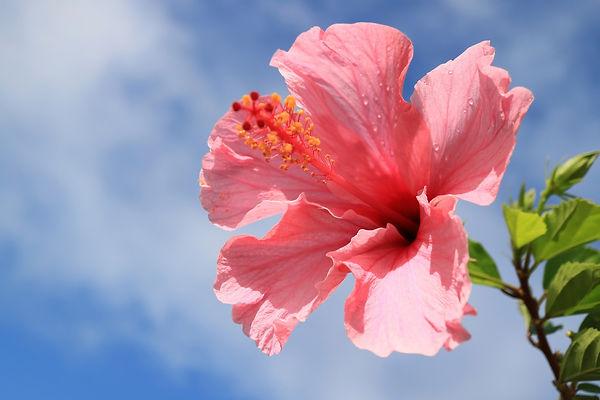 hibisco-rosa.jpg