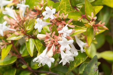 Abelia grandiflora.jpeg