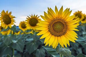 sunflower-field-near-me-please-wash-me-car-wash-pennsylvania-1531251130.jpg