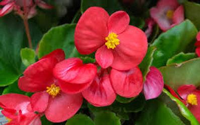 Wax begonia.jpg