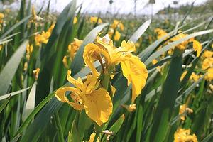 yellowflag_iris_main.jpg