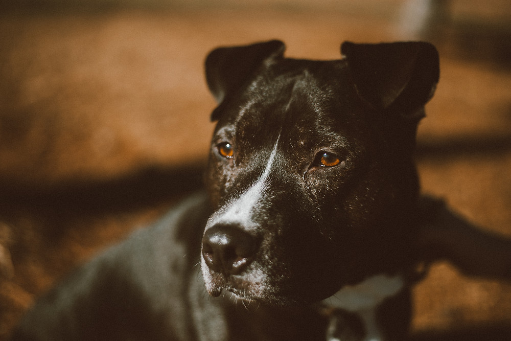 Black pitbull dog looks off into the distance with big brown eyes during their lifestyle photography session.