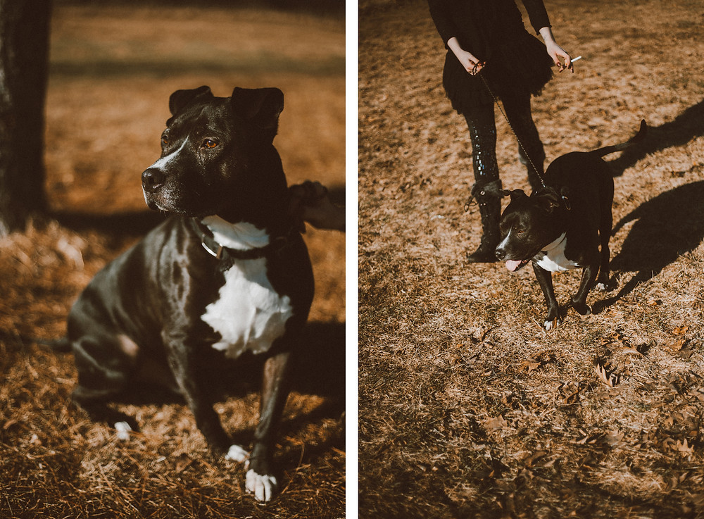 Black pitbull dog sits and walks nicely during their lifestyle photography session.