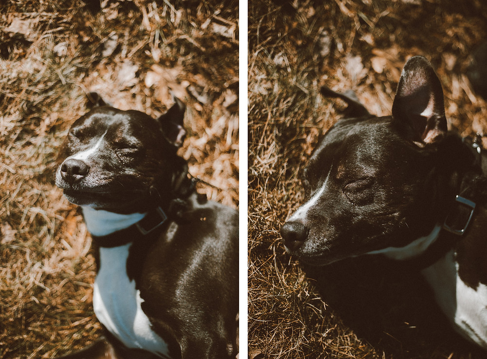 Black pitbull dog makes funny faces while getting a belly rub during their lifestyle photography session.