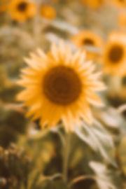 sunflower-1 copy.jpg