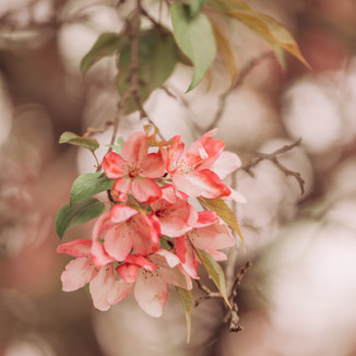 Cherry Blossoms   Waupaca, WI   Lifestyle Photography