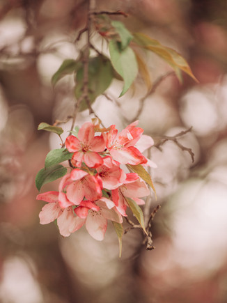 Cherry Blossoms | Waupaca, WI | Lifestyle Photography