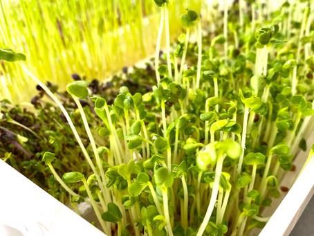 🌿🌿Quelles graines germées choisir pour quels bienfaits?