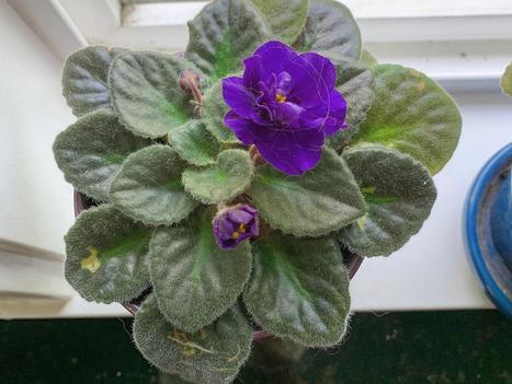 the violet in my kitchen