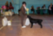 Bersifjor Villarosa, прямошерстный ретривер, flat coated retriever