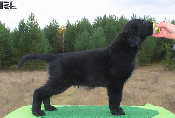 Flat Coated puppy, retriever puppy