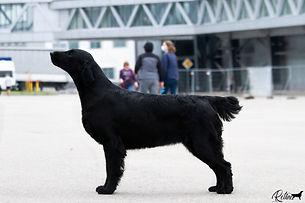 выставки собак, прямошерстный ретривер, флэт