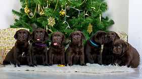 puppies, щенки лабрадора, labrador retriever puppies