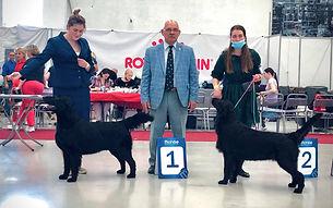Международные выставки, выставки собак, прямошерстный ретривер, флэт