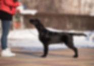flatcoated retriever, fcr puppy