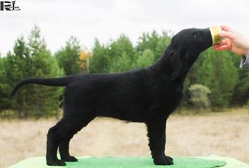 Flat Coated puppy, retriever puppy