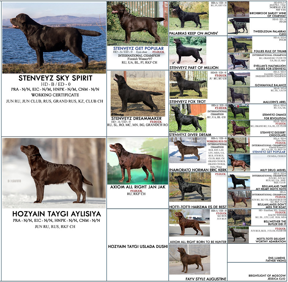 labbrador puppies, for sale labrador uppies, chocolate labrador, retline kennel