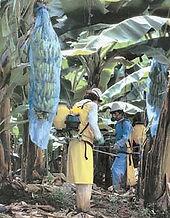 Опрыскивание бананов