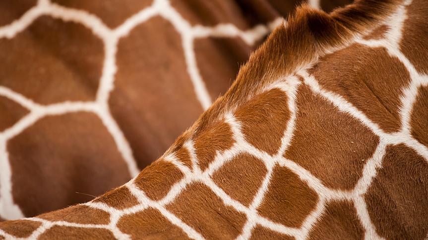 texture giraffe_Plan de travail 1.tif