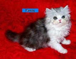 Penny's Persians - Tomas