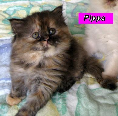 Penny's Persians - Pippa