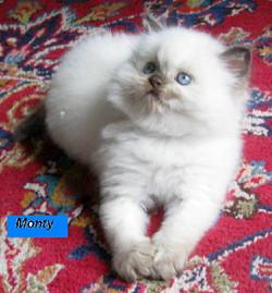 Penny's Persians - Monty
