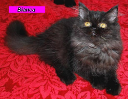 Penny's Persians - Bianca