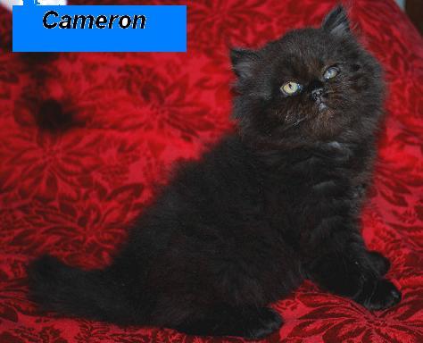 Penny's Persians - Cameron