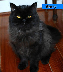 Penny's Persians - Barry