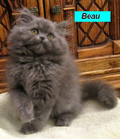 Penny's Persians - Beau
