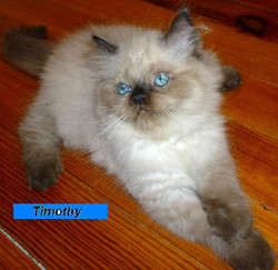 Penny's Persians - Timothy