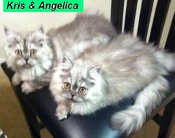Penny's Persians - Kris & Angelica