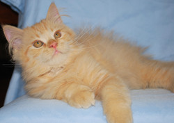 Penny's Persians - Toby