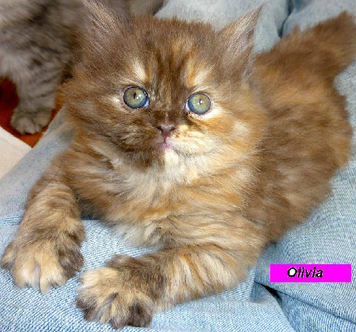 Penny's Persians - Olivia