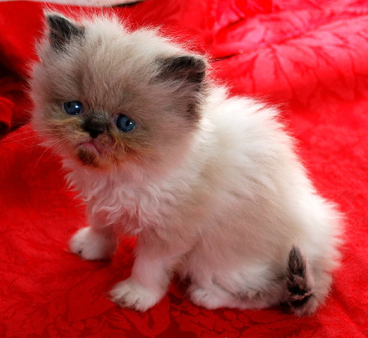 Penny's Persians - Kitten