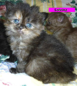 Penny's Persians - Sabrina