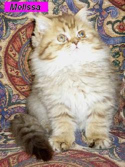 Penny's Persians - Melissa