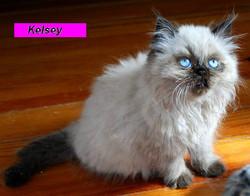 Penny's Persians - Kelsey