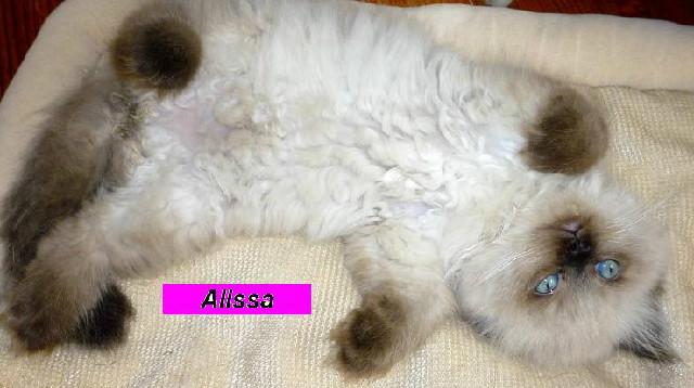 Penny's Persians - Allssa
