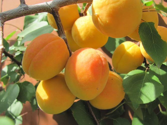 Абр. персиковый  уральский (3).JPG