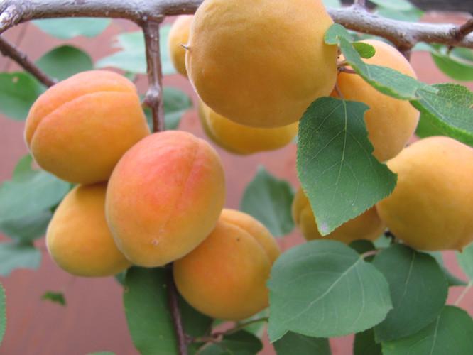 Абр. персиковый уральский (7).JPG