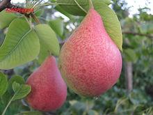 Плод саженца груши Кокинская