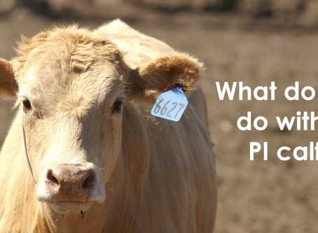 What do I do with my PI calf?