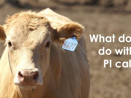 What do I do with my PI calf?