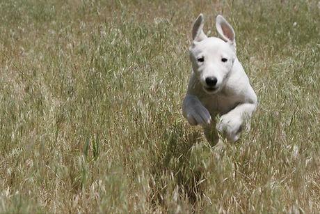Whaite puppy running through a back yard