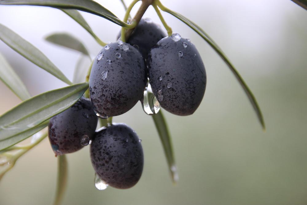 Die reife Olive