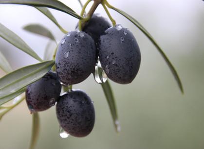 Die Olivenernte in Andalusien